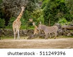 Giraffe  Zebra And Ostrich In ...