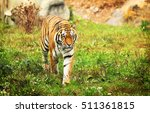 a siberian tiger walking in the ... | Shutterstock . vector #511361815