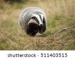 european badger | Shutterstock . vector #511403515