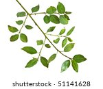 branch isolated on white... | Shutterstock . vector #51141628