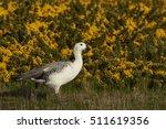Male Upland Goose  Chloephaga...