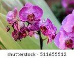 flowers. phalaenopsis orchids ... | Shutterstock . vector #511655512