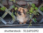 Pekingese Sad Watching The...