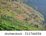 strawberry farm  strawberry...   Shutterstock . vector #511766056