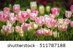 bright pink tulips blooming in... | Shutterstock . vector #511787188