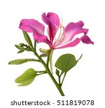 Stock photo flower butterfly tree pink flower isolated on white background 511819078