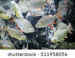 Schwanenfeld's Tinfoil Barb Fish