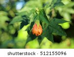 Small photo of abutilon striatum