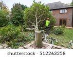 an oak tree in cut down in a... | Shutterstock . vector #512263258