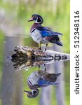 Small photo of Male Wood Duck (Aix sponsa) in spring