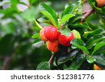 Small photo of Select focus of acerola cherry on thai cherry tree with green ba