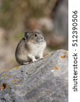 Small photo of American pika on rock with tan and green background