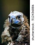 Cinereous Vulture  Black...