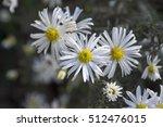 Aster Ericoides  Symphyotrichu...