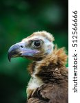 Cinereous Vulture  Black...