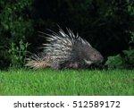 malayan porcupine  himalayan... | Shutterstock . vector #512589172