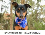 Beautiful Black And Tan Kelpie...