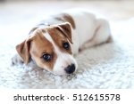 Stock photo jack russel puppy on white carpet 512615578