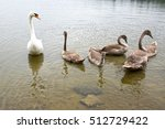 One Adult Swan And Five Swan...