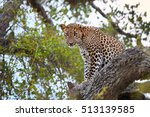 sri lankan leopard  panthera... | Shutterstock . vector #513139585