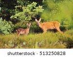 5 Week Young Deer Calf With He...