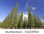 Cook Pine Trees in Dole Park - Island of Lanai, Hawaii