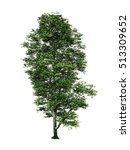 Beech Tree Isolated White...