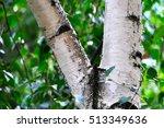Macro Photo Of Birch
