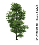 Beech Tree Isolated White...