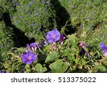 ipomoea purpurea   annual vine... | Shutterstock . vector #513375022