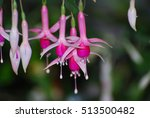 Pretty Blooming Fuchsia Flower...