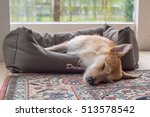 Stock photo brown white dog sleeps in dog bed in room dog is mixed breed podengo portuegese warren hound 513578542