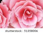 Close Up Of Pink Begonias...