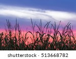 Stalks Of Corn Are Silhouetted...