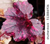 Small photo of Coral bells, alumroot - Heuchera 'Midnight Rose'