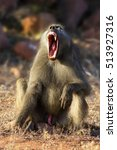 Small photo of Alpha male baboon yawning in early winter morning sun light, Kruger Park. Papio ursinus