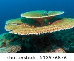 Small photo of Big table corals (Acropora pulchra) with some fish, Maldives