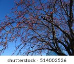 Small photo of Actaea rubra (Red Baneberry) against a blue sky