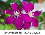 Purple Clematis 'niobe'
