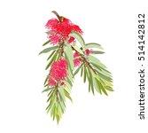 Red Flowering Bottlebrush Tree...