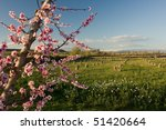 fruit trees in bloom - stock photo
