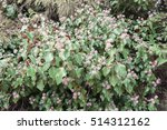 background texture of shrubbery ... | Shutterstock . vector #514312162