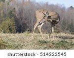 Whitetail Deer  Odocoileus...
