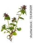 purple dead nettle lamium... | Shutterstock . vector #51434209