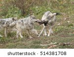 wolves fight for food | Shutterstock . vector #514381708