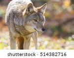 Small photo of Coyote in autumn golden light