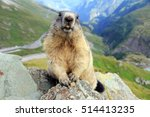 A Marmot In The Mountain