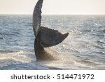 humpback whale  megaptera...   Shutterstock . vector #514471972