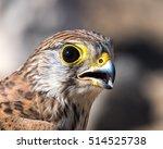 Common Kestrel (Falco tinnunculus),European kestrel, Eurasian kestrel