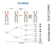 telomere is located at the ends ... | Shutterstock . vector #514712995